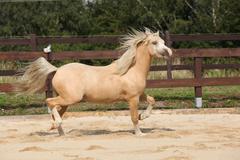 Stock Photo of gorgeous palomino stallion running