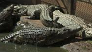 Stock Video Footage of Crocodiles by river