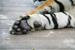 Paw of tiger Stock Photos