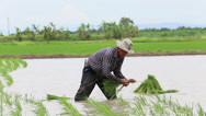 Stock Video Footage of Rice Farmer Working In A Wet Rice Paddy In Thailand