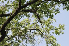 Low angle view of a tree, Jim Corbett National Park, Nainital, Uttarakhand, - stock photo