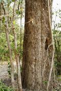 Tree in a forest, Jim Corbett National Park, Nainital, Uttarakhand, India - stock photo