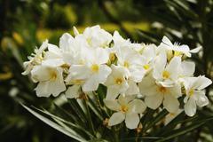 Close-up of flowers blooming, Jim Corbett National Park, Nainital, Uttarakhand, - stock photo