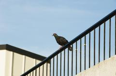 Pigeon on the railing of a house, Tirupati, Andhra Pradesh, India Stock Photos