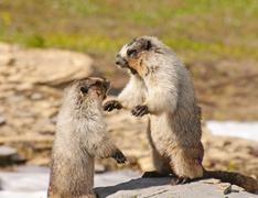 marmots fighting for territory - stock photo