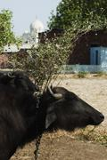 Buffaloes with the mausoleum in the background, Taj Mahal, Agra, Uttar Pradesh, Stock Photos