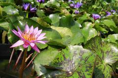 Lotus lake Stock Photos