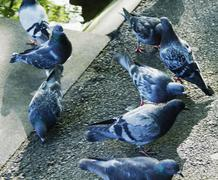 Close-up of pigeons, Dublin, Republic of Ireland - stock photo