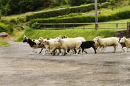 Flock of sheep on road, Ring Of Kerry, County Kerry, Republic of Ireland Stock Photos