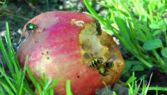Wildlife Wasp Insect eating a rotten apple Stock Footage