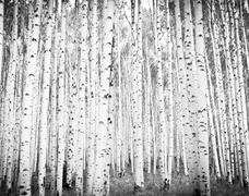 Aspens trees Stock Photos