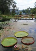 Victoria amazonica grand lotus in lake Stock Photos