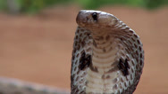 Stock Video Footage of Attack of Indian cobra (Naga naja)