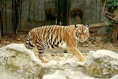 Tiger, thailand Stock Photos