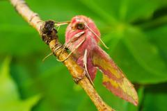deilephila porcellus - stock photo