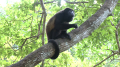 Black-headed spider monkey (Ateles fusciceps) eating banana perched on a tree Stock Footage