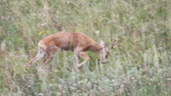 Stock Video Footage of a roe deer in a field of header