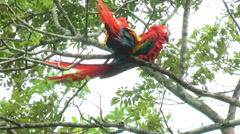 Two Scarlet Macaw walking and perched on a tree. Stock Footage