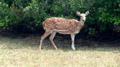 Wild deer Stock Footage