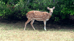 Stock Video Footage of Wild deer