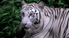 Stock Video Footage of White albino tiger