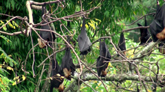 Flock of Flying foxes at the trees Stock Footage