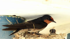 Barn Swallow Nesting Stock Footage