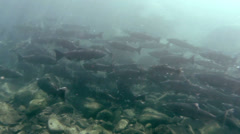 Stock Video Footage of Salmon Return To Home River