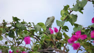 Stock Video Footage of Iguana 05