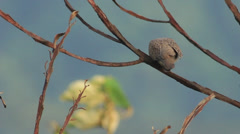 Spotted Dove (Spilopelia Chinensis) Stock Footage