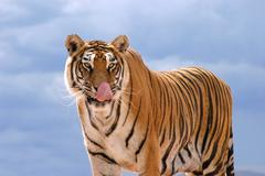 hungry tiger - stock photo