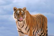 Stock Photo of hungry tiger