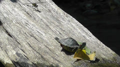 Amid Nature - Baby Turtle on a Log with Dragonfly Stock Footage