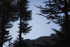 Trees in a forest, Manali, Himachal Pradesh, India - stock photo