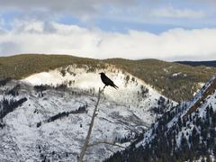 aspen crow in winter - stock photo