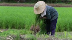 Asian Farmer Working In The Rice Fields In Northern Thailand Stock Footage