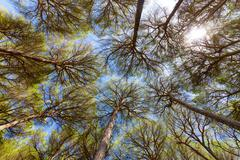 Wide angle view of pine trees Stock Photos