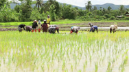 Stock Video Footage of Thai Farmers Working Together In The Rice Fields