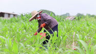 Stock Video Footage of Thai Farmer Planting Fresh Corn In A Corn Field