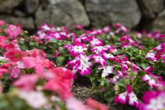 Stock Photo of Close-up of flowers, Ravello, Amalfi Coast, Salerno, Campania, Italy