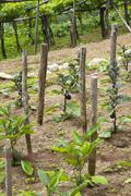 Stock Photo of Vines in a vineyard, Ravello, Amalfi Coast, Salerno, Campania, Italy