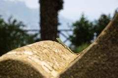 Close-up of a lizard, Ravello, Amalfi Coast, Salerno, Campania, Italy - stock photo
