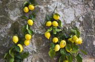 Stock Photo of Lemons hanging on a wall, Ravello, Amalfi Coast, Salerno, Campania, Italy