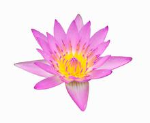 Pink color lotus Stock Photos