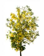 Cassia flower tree Stock Photos