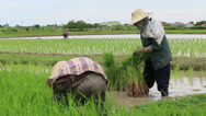 Stock Video Footage of Two Asian Farmers Working in a Rice Field