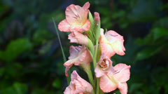 Gladiola with water Stock Footage