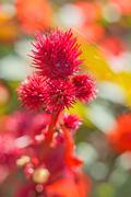 castor-oil plant fruits - stock photo