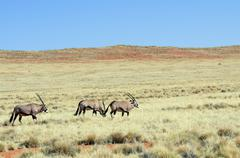 Oryx/ gemsbok in a desert landscape Stock Photos