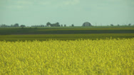 Stock Video Footage of Canola Field 2
